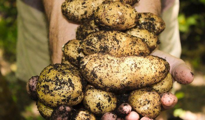organic-potatoes-regulation-2020